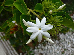 Jasminum multiflorum - Image: Jasminum multiflorum 0001