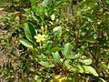 Jasminum odoratissimum Tenerife.jpg