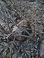 Jatropha dioica (Family Euphorbiaceae) - sangre de Drago.jpg