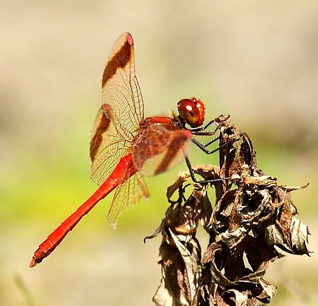 File:JeHu68 - Red Dragonfly (by).jpg