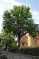 Jena Naturdenkmal Baumhasel Landgrafenstieg.jpg