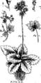 Joannis Raii Synopsis methodica stirpium Britannicarum- tum indigenis Fleuron T093684-16.png