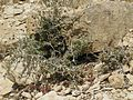 Judean Desert IMG 1826.JPG