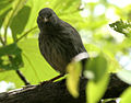 Jungle Babbler (Turdoides striatus) W IMG 0171.jpg