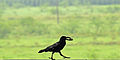 Jungle Crow and its crab 1.jpg