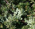 Juniperus communis - Flickr - S. Rae.jpg