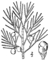 Juniperus horizontalis.png