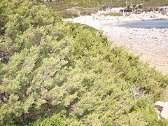 Juniperus phoenicea habitat.jpg
