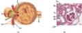Juxtaglomerular Apparatus and Glomerulus numbers.png