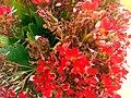 Kalanchoe blossfeldiana Flowers Closeup TorreLaMata.jpg