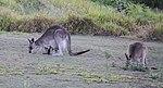 Kangaroos 2 (31132927641).jpg