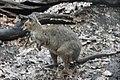 Kangaroos at WILD LIFE Sydney Zoo (Ank Kumar) 02.jpg