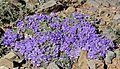 Karoo Violets (Aptosimum procumbens) (32626217642).jpg