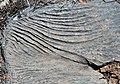 Karren weathering (Wirrapowie Limestone, Lower Cambrian; Mernmerna railroad bridge dry creek cut, South Australia) 4.jpg