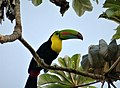 Keel-billed Toucan. Ramphastos sulfuratus - Flickr - gailhampshire.jpg