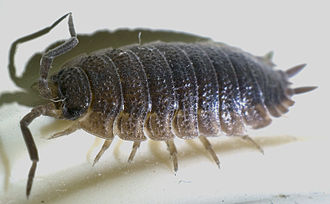 Pierre André Latreille - Latreille named the rough woodlouse Porcellio scaber in 1804, and also established the genus Porcellio (1804), the sub-order Oniscidea (1802), the order Isopoda (1817) and the class Malacostraca (1802).
