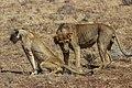 Kenya, Safari (46066995222).jpg