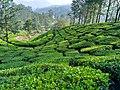 Kerala Munnar diaries 09.jpg