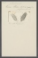Kerona histrio - - Print - Iconographia Zoologica - Special Collections University of Amsterdam - UBAINV0274 113 18 0015.tif