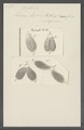 Kerona lepus - - Print - Iconographia Zoologica - Special Collections University of Amsterdam - UBAINV0274 113 18 0024.tif