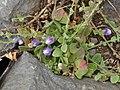 Kickxia commutata subsp graeca Tenerife.jpg