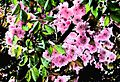 Kirschblüte.jpg