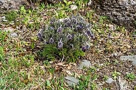 Klagenfurt Villacher Vorstadt Botanischer Garten Schwarz-Küchenschelle 04042018 5785.jpg