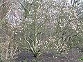 Knighton Park magnolias - geograph.org.uk - 336474.jpg