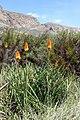 Kniphofia uvaria (Xanthorrhoeaceae) (4576236590).jpg