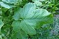 Korina 2014-05-11 Brassica nigra 1.jpg