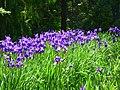 Kosaciec syberyjski. (Iris sibirica L.) 01.jpg
