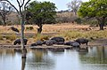 Kruger Park - hroši u vody, Jihoafrická republika - panoramio.jpg