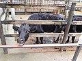 Kuchinoshima Cows at Utsunomiya Zoo.jpg