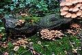 Kuehneromyces mutabilis (Sheathed Woodtuft, D= Stockschwämmchen , NL= Stobbezwammetje) at Wolfheze - panoramio.jpg