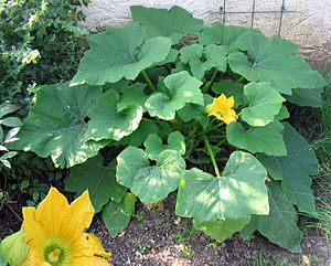 Patisson-Pflanze (Cucurbita pepo var. patisson)