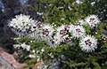 Kunzea ambigua -澳洲塔斯曼尼亞 Mt Amos, Tasmania- (10855708855).jpg