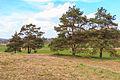 Kvetoucí koniklece v PP Kobylinec 24.jpg