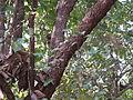 Kydia calycina - Ganeshgudi 08.JPG