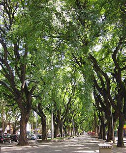 La Alameda. Un recorrido peatonal forestado con grandes árboles.
