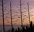 La Gomera sunset with Agave silhouettes.jpg