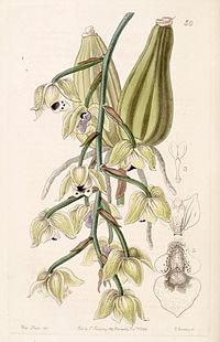 Lacaena bicolor - Edwards vol 30 (NS 7) pl 50 (1844).jpg