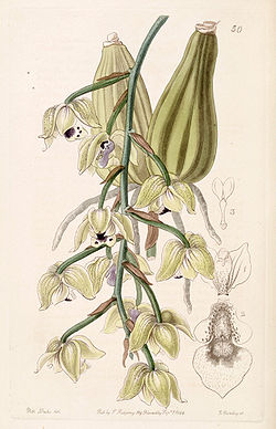 Lacaena bicolor - Edwards vol 30 (NS 7) pl 50 (1844).jpg