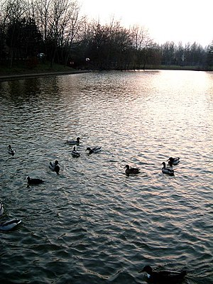 Watermead, Buckinghamshire - Ducks in the lake during a March sunset.