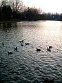 Lake with Ducks, evening. Watermead, Aylesbury - geograph.org.uk - 137536.jpg