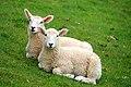 Lambs near Rhodes Hill - geograph.org.uk - 1317469.jpg