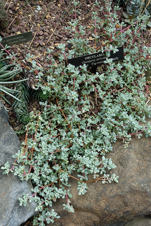 Lampranthus deltoides (Oscularia deltoides) - Longwood Gardens - DSC01104