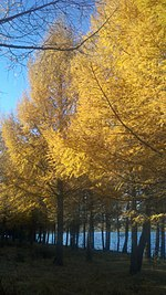 Larches at tai feng lake san han ba hebei china.jpg
