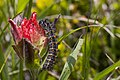 Large Caterpillar on Wildflower, Mt Baker Snoqualmie National Forest (31993595231).jpg