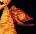 Larve eines Aals.tif