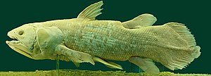 Timeline of human evolution - Coelacanth caught in 1974